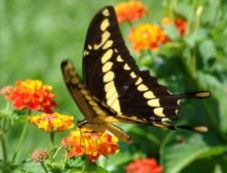 black and yellow butterfly